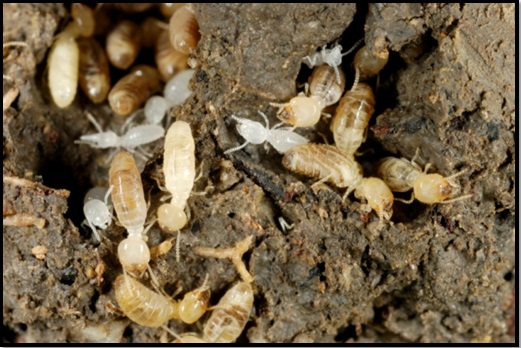 How To Protect House Against Termites Civilblog Org